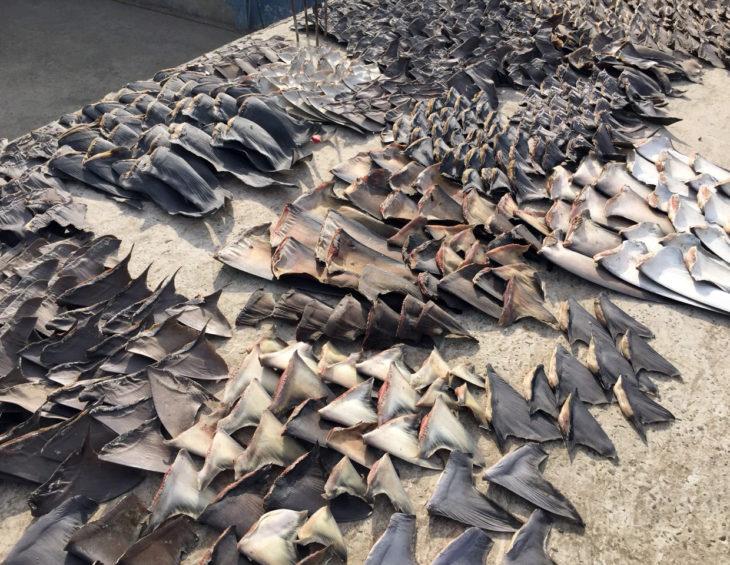Botswana is landlocked, but is still exporting shark fins
