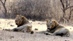 'Gold rush' as Botswana meets appetite for lion goods