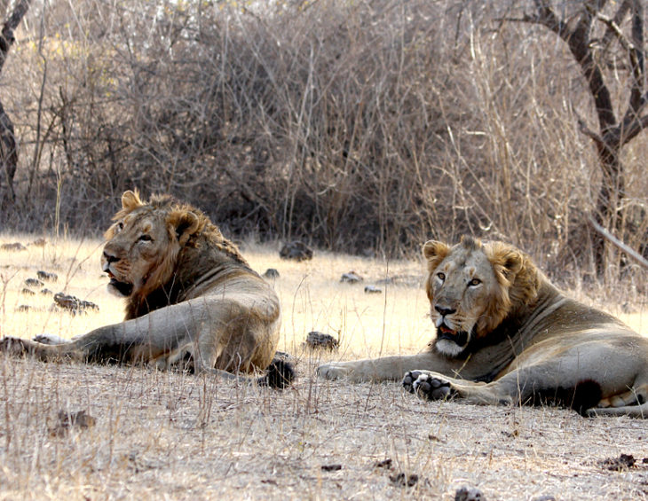 'Gold rush' as Botswana meets appetite for lion goods